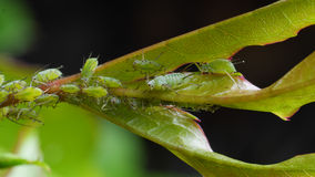 Aphids sucking on rose leaf Royalty Free Stock Image