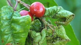 Aphidsbladluizen op een blad van de kersenboom Myzuscerasi is een ongedierte op een kersenblad stock video