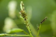 Aphis en una planta Fotos de archivo