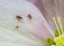 Aphis sur le hellebore Photos stock
