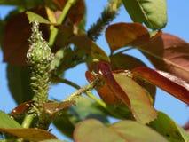 Aphis sur Rose Plant photos libres de droits