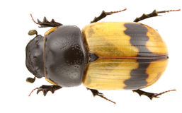 Aphodius coniugatus Royalty Free Stock Photos