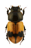 Aphodius coniugatus Royalty Free Stock Photo