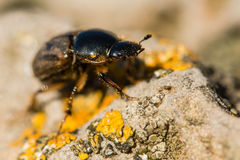 Aphodius contaminatus dung beetle Royalty Free Stock Photo