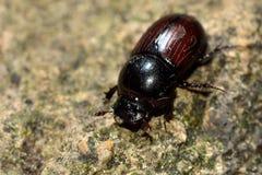 Aphodius depressus dung beetle Stock Photo