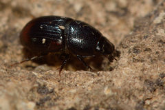 Aphodius haemorrhoidalis dung beetle Royalty Free Stock Images
