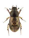 Aphodius obliteratus Royalty Free Stock Photography