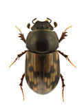 Aphodius paykulli Royalty Free Stock Photo
