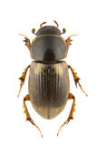Aphodius prodromus Stock Photography
