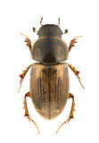 Aphodius prodromus Stock Photo