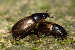 Aphodius prodromus and A. sphacelatus dung beetles Stock Photo