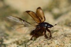 Aphodius sphacelatus dung beetle taking flight Stock Photo