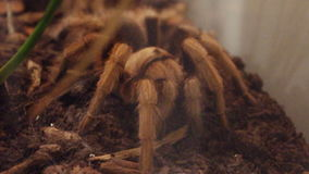 Aphonopelma chalcodes. stock video