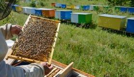 aphrodisiac Ο μελισσοκόμος εργάζεται κοντά στις κυψέλες τεύτλο Μέλισσα με τις μέλισσες Στοκ φωτογραφίες με δικαίωμα ελεύθερης χρήσης