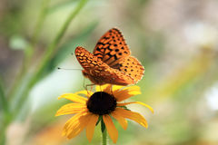 Aphrodite Fritillary Butterfly. On a black-eyed-susan flower Stock Photography