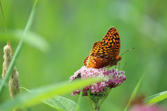 Aphrodite Fritillary Stock Photo