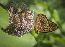 Aphrodite Fritillary Butterfly & Milkweed. Colorful Aphrodite Frittilary butterfly on a pink Milkweed bloom in summer Royalty Free Stock Photos