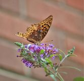 Aphrodite Fritillary Butterfly. An Aphrodite fritillary Speyeria aphrodite butterfly on a butterfly bush.  This is a fritillary butterfly, from North America Royalty Free Stock Photography