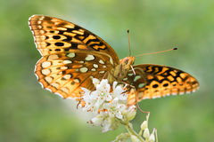 Aphrodite Fritillary III. Aphrodite Fritillary Perched on a White Flower Royalty Free Stock Image