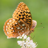 Aphrodite Fritillary Royalty Free Stock Photos