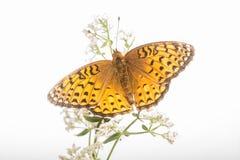 Aphrodite Fritillary - Speyeria aphrodite - φτερά που διαδίδονται Στοκ εικόνες με δικαίωμα ελεύθερης χρήσης