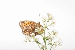 Aphrodite Fritillary - Speyeria aphrodite - Underside Στοκ εικόνες με δικαίωμα ελεύθερης χρήσης