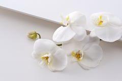 aphrodite phalaenopsis Στοκ φωτογραφίες με δικαίωμα ελεύθερης χρήσης