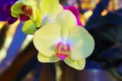 Aphrodite Rchb del Phalaenopsis Foto de archivo
