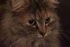 Aphrodite. Stare down with Aphrodite, a long-haired calico cat Royalty Free Stock Image