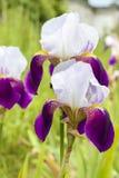 Aphylla της Iris στον κήπο Στοκ εικόνα με δικαίωμα ελεύθερης χρήσης