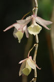 Aphyllum Dendrobium Στοκ εικόνα με δικαίωμα ελεύθερης χρήσης