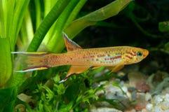 Aphyosemion fisk Royaltyfri Fotografi