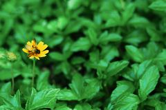 Api appollaiate su un piccolo fiore giallo, su uno sfondo naturale fotografia stock