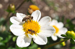 Api che raccolgono polline Immagini Stock