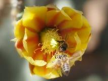 Api che raccolgono polline da un fiore giallo ed arancio del fico d'india Immagini Stock