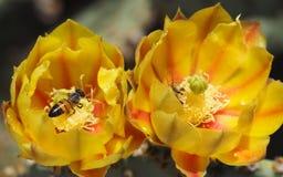 Api che raccolgono polline da un paio del fiore giallo ed arancio del fico d'india Fotografia Stock Libera da Diritti