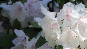 Api che si tuffano nei fiori bianchi archivi video