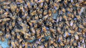 Api del miele all'entrata dell'alveare video d archivio
