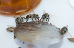 Api del miele (api) fotografia stock