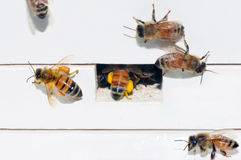 Api del miele che imballano coregone lavarello Immagine Stock Libera da Diritti