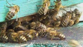 Api del miele che sciamano e che volano intorno al loro alveare video d archivio