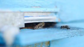Api del miele che sciamano e che volano intorno al loro alveare stock footage