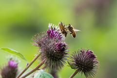 Api del miele & x28; Mellifera& x29 di api; combattendo sopra il fiore Immagine Stock Libera da Diritti
