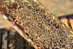 Api di funzionamento sul concetto del lavoro di Honeycomb Fotografia Stock Libera da Diritti
