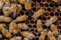 Api di funzionamento sul concetto del lavoro di Honeycomb Immagini Stock Libere da Diritti