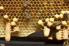 Api di Queens dei bozzoli e delle api immagine stock libera da diritti