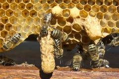 Api di Queens dei bozzoli e delle api Immagine Stock