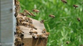 Api di sciame Formazione api di nuove di una famiglia della colonia Api che possono volare ad una certa mosca del punto dall'alve stock footage