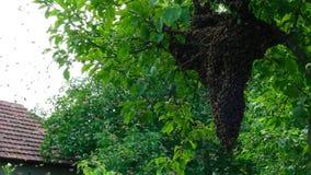 Api di sciame Formazione api di nuove di una famiglia della colonia Api che possono volare ad una certa mosca del punto dall'alve archivi video