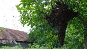Api di sciame Formazione api di nuove di una famiglia della colonia Api che possono volare ad una certa mosca del punto dall'alve video d archivio